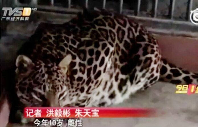 เสือดาวหลุดจากสวนสัตว์