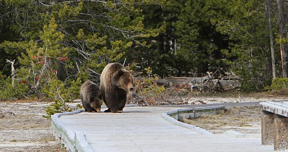 หญิงสาวจากอิลลนอยส์ โดนปรับ เพราะไปแกล้งหมีกริซซี่